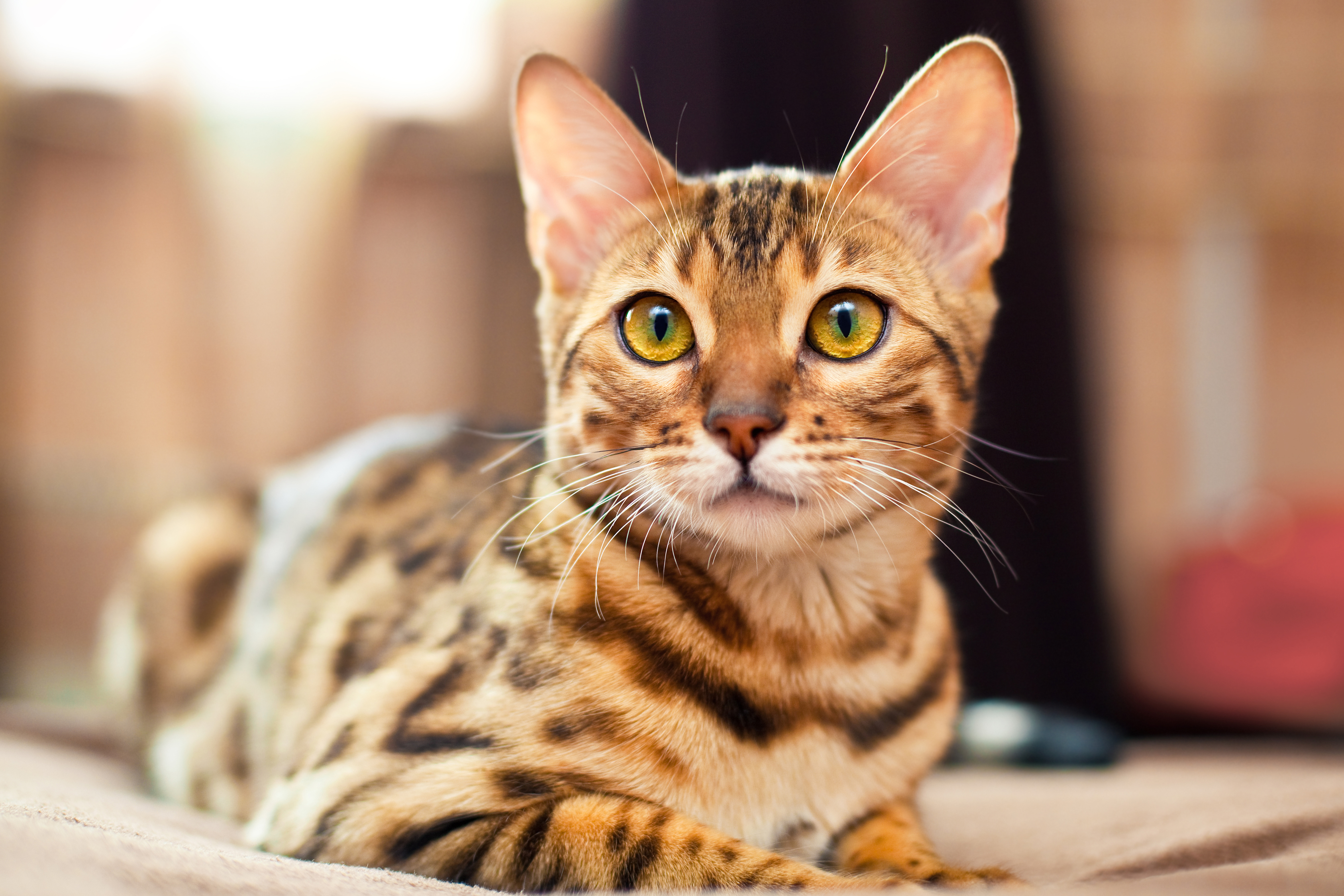 Bengal Cat Breeders In Texas - Bengal Cat Club