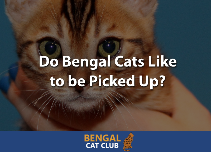 Do Bengal Cats Like Being Picked Up