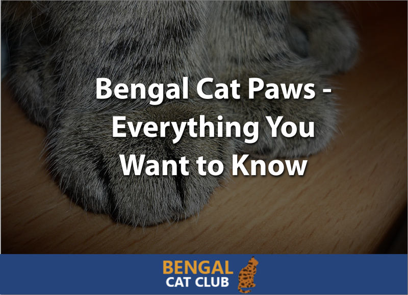bengal cat paws everything you want to know