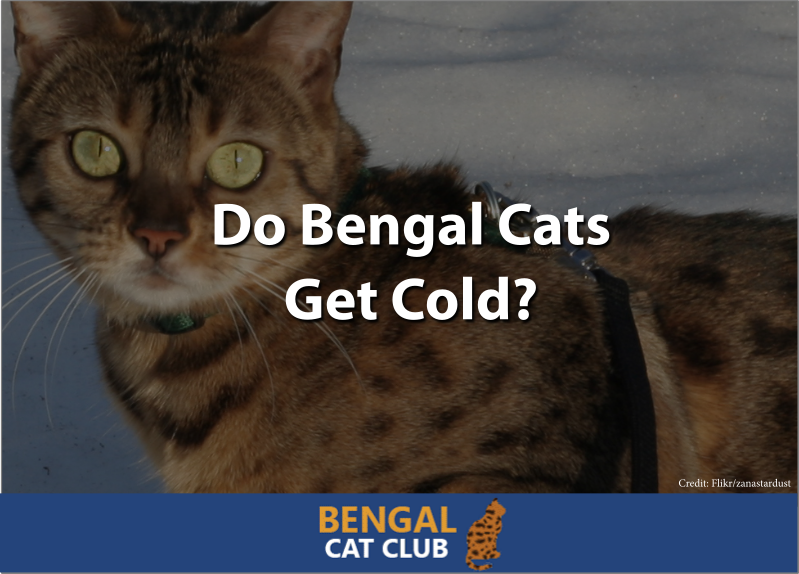 Do bengal cats get cold