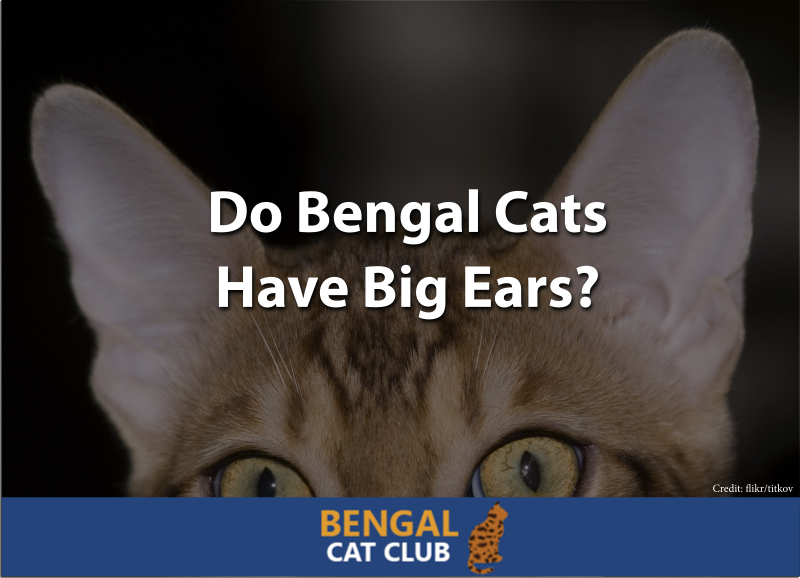 do bengal cats have big ears