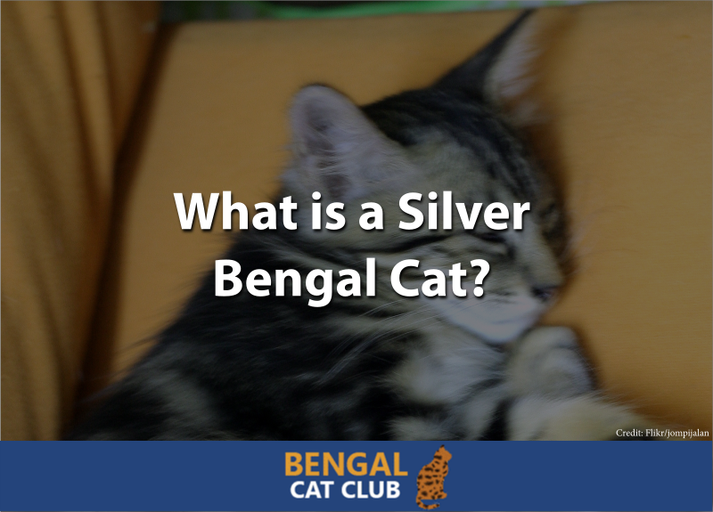 what is silver bengal cat