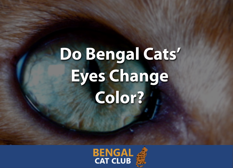 Do Bengal Cats Eyes Change Color