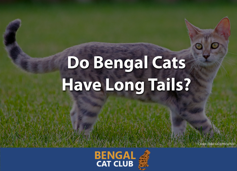 Do Bengal Cats Have Long Tails