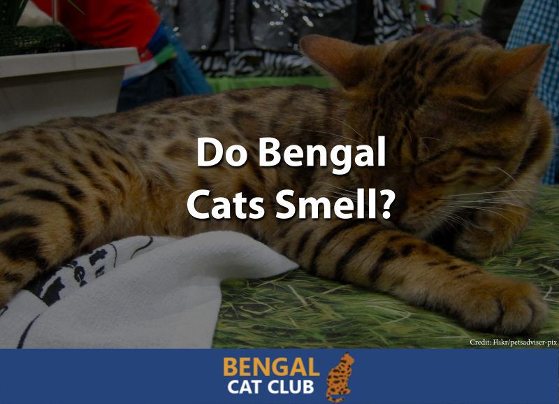 Do Bengal Cats Smell