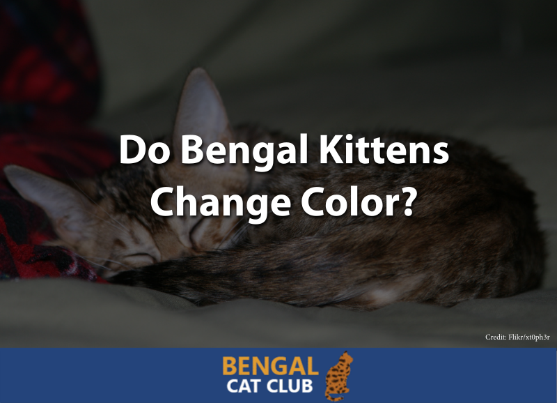 Do Bengal Kittens Change Color