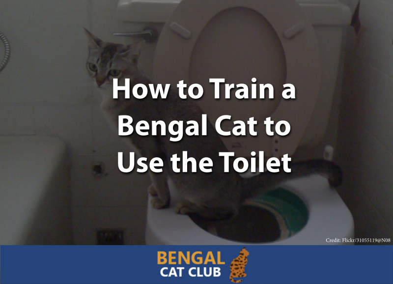 How to Train a Bengal Cat to Use the Toilet