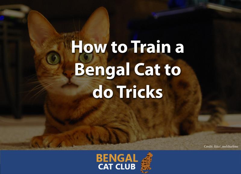 How to Train a Bengal Cat to do Tricks