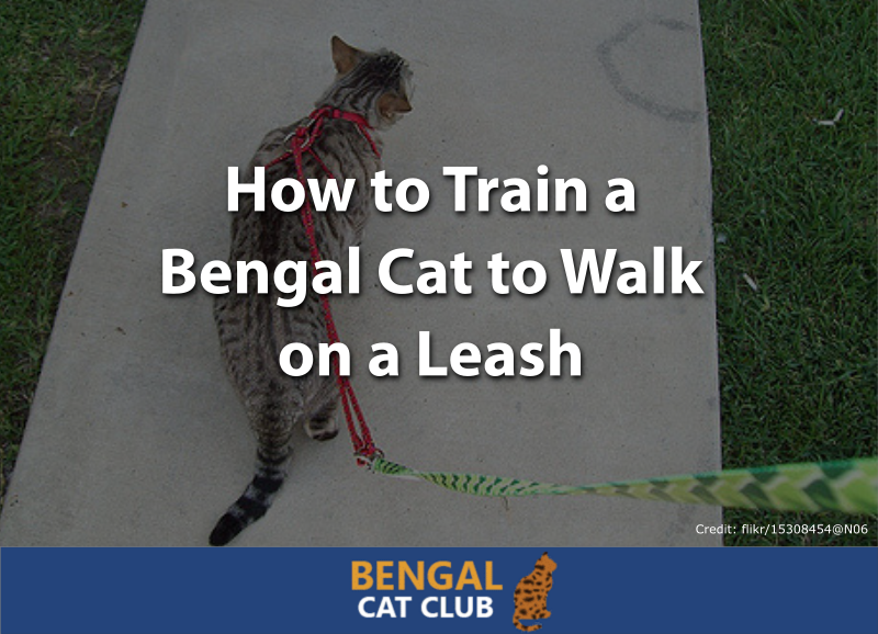 how to train a bengal cat to walk on a leash
