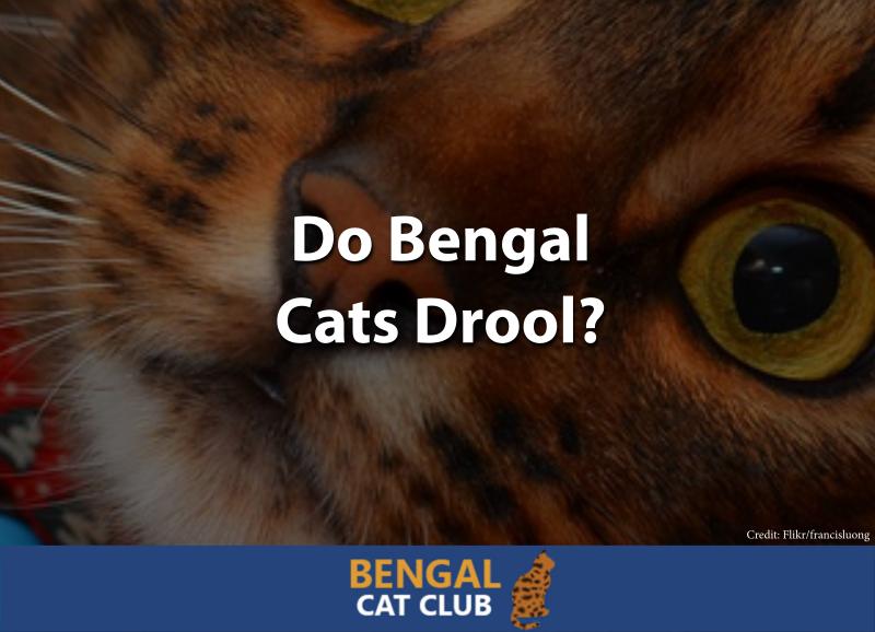 Do Bengal Cats Drool