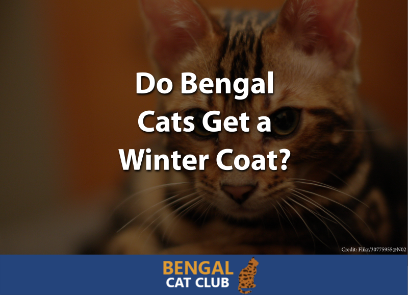 Do Bengal Cats Get a Winter Coat