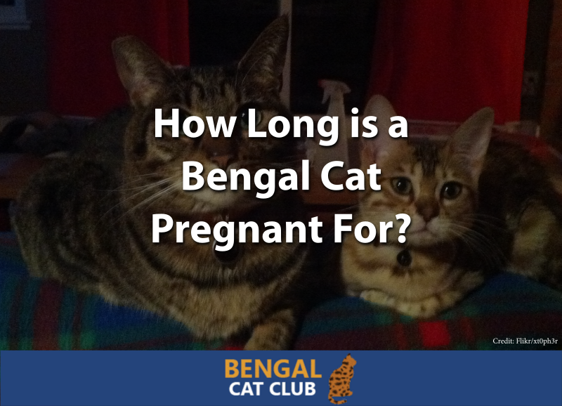 How Long is a Bengal Cat Pregnant For