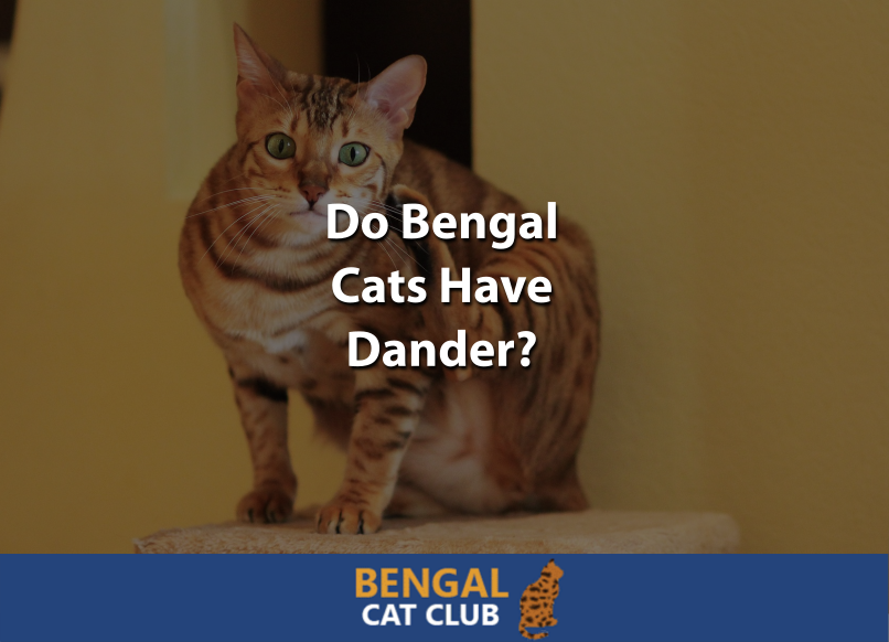 Do Bengal Cats Have Dander