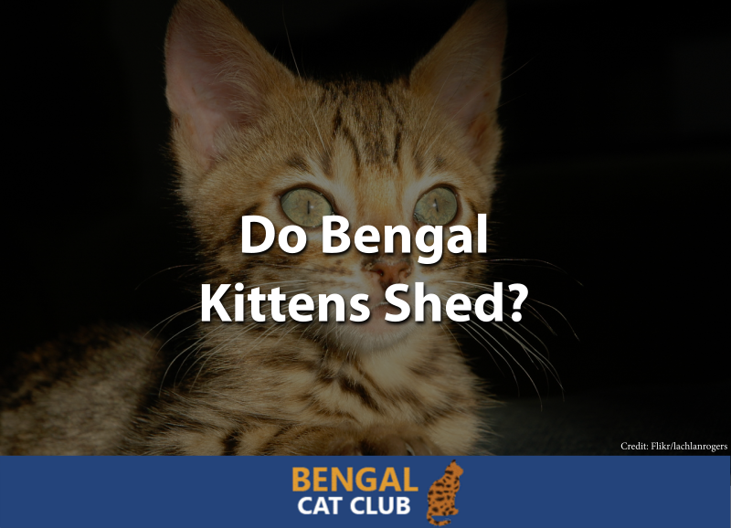 Do Bengal Kittens Shed