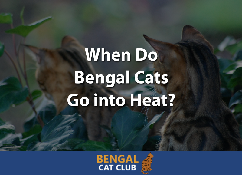 When Do Bengal Cats Go into Heat