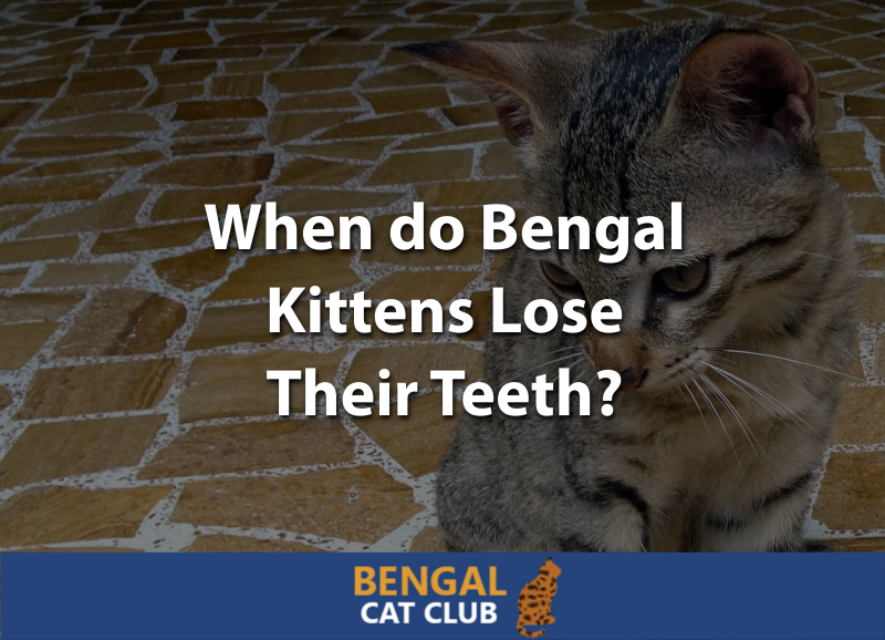 When do Bengal Kittens Lose Their Teeth