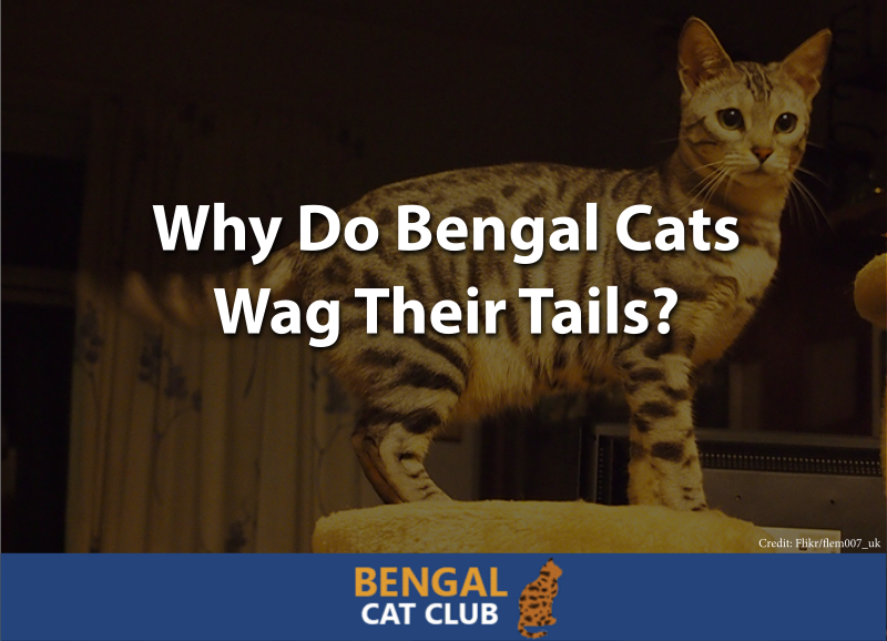 Why Do Bengal Cats Wag Their Tails