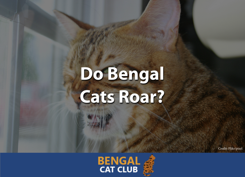 Do Bengal Cats Roar