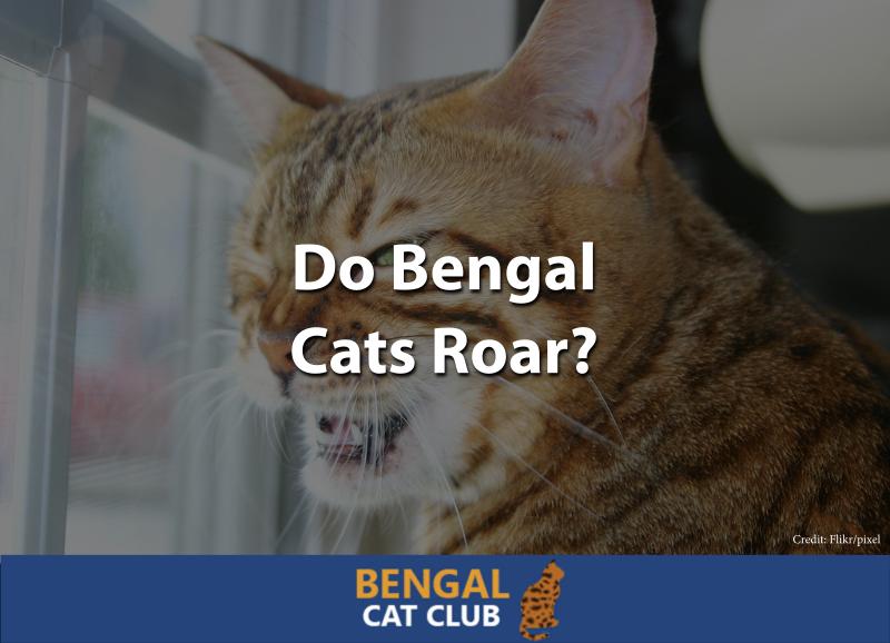 Do Bengal Cats Roar