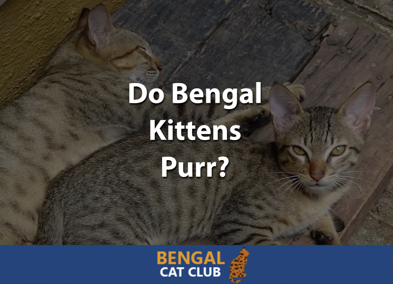 Do Bengal Kittens Purr
