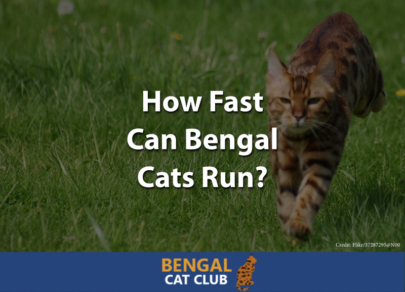 How Fast Can Bengal Cats Run