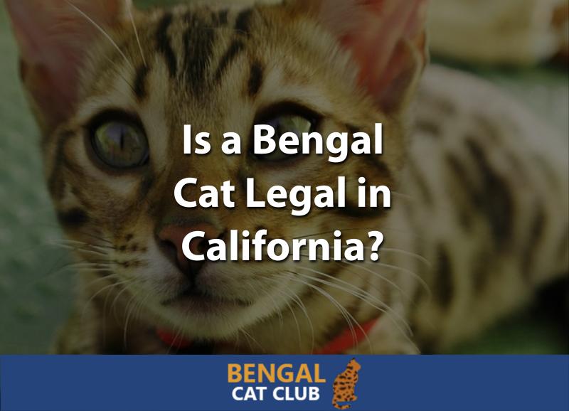 Is a Bengal Cat Legal in California? - Bengal Cat Club