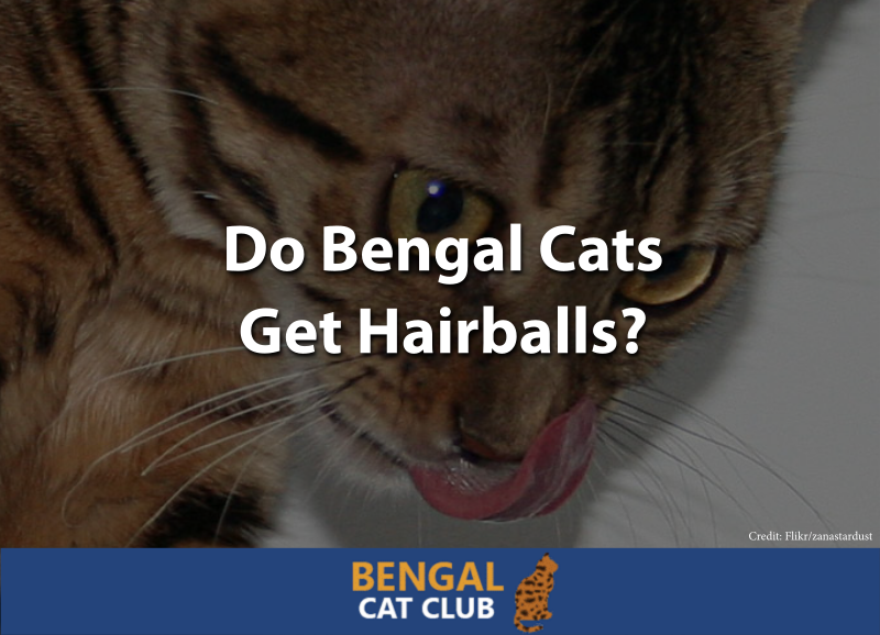 Do Bengal Cats Get Hairballs