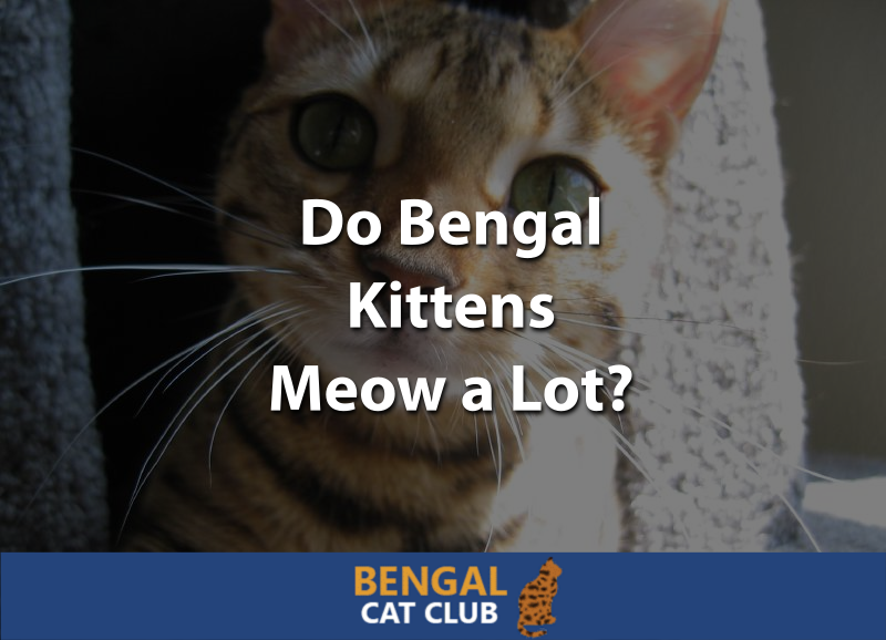 Do Bengal Kittens Meow a Lot