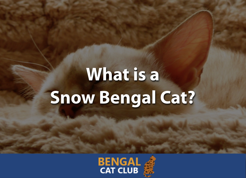 What is a Snow Bengal Cat