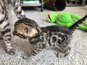 Bengal Cat Breeders In Iowa - Bengal Cat Club