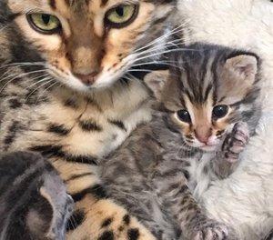 Bengal Cat Breeders In Texas - Bengal Cat Club