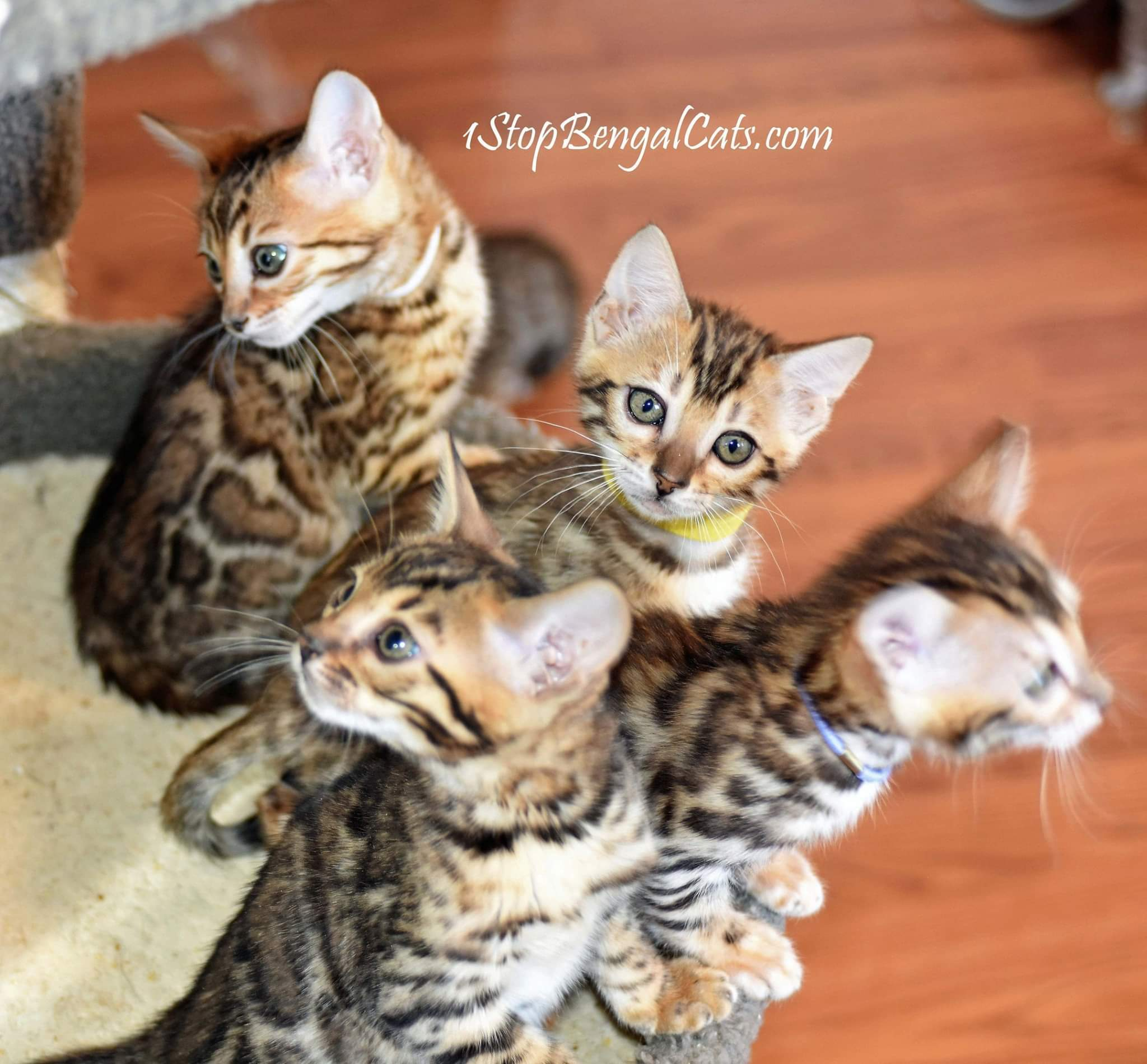 Bengal Cat Breeders In Colorado - Bengal Cat Club